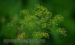 Лечебные свойства семян укропа