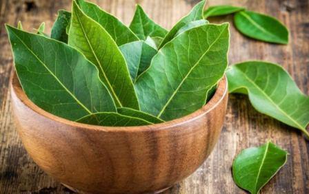 Лечебные и полезные свойства лаврового листа