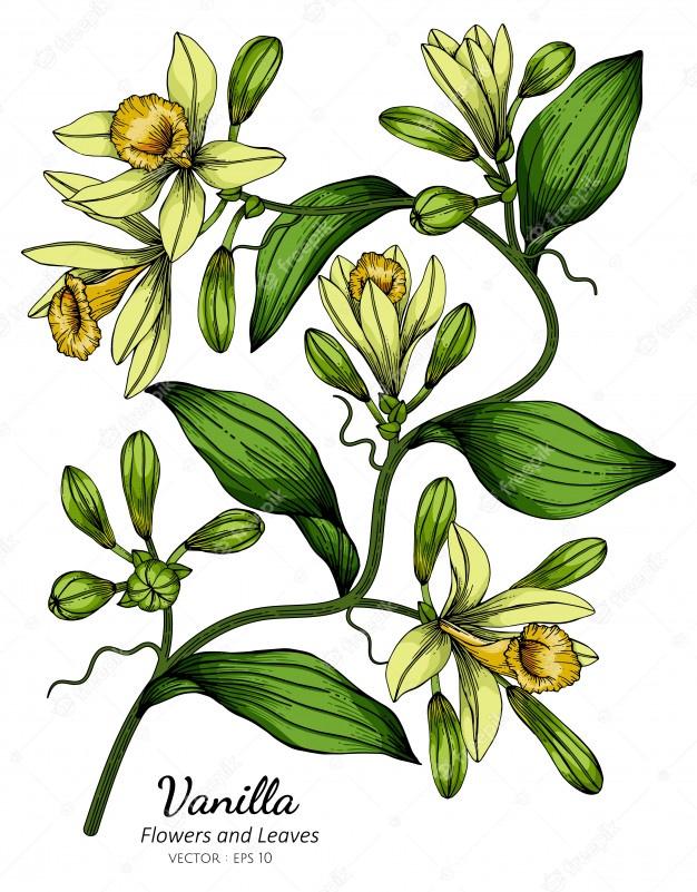 ваниль как растение